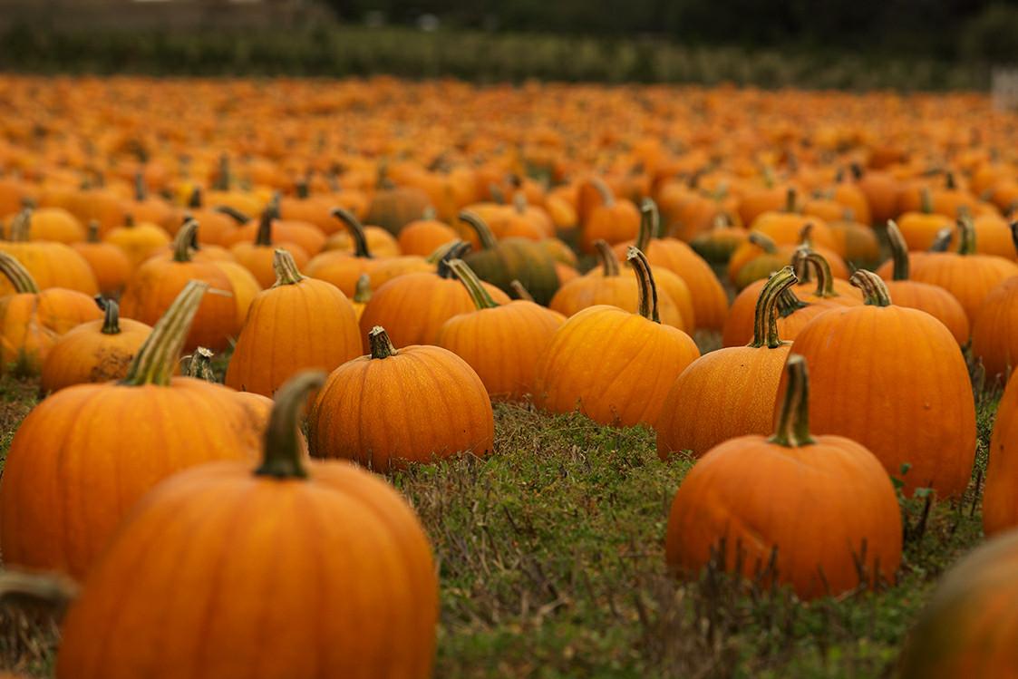 Field-of-Pumpkins
